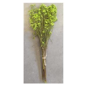 Australian daisy verde