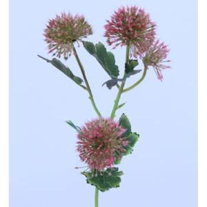 Allium ramo pink
