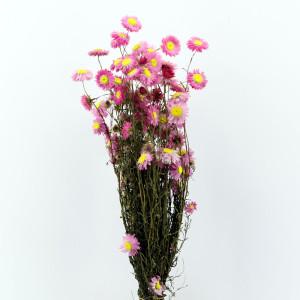Acroclineum rosa cm.50