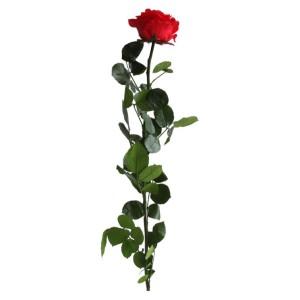 Rosa preservata Amorosa cm.55 rosso