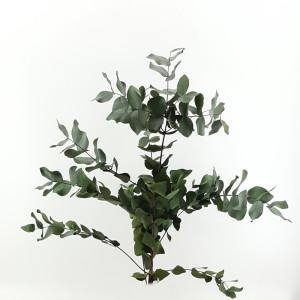 Eucaliptus cynerea cm.65 verde (gr.150)